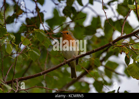 robin. Erithacus rubecula. Single adult perched in birch tree. Powys. Wales - Stock Photo
