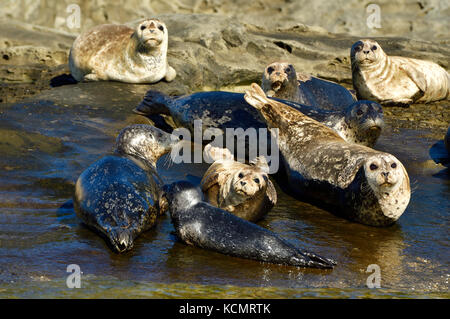 A herd of Harbor seals (Phoca vitulina), basking in the warm sunlight on a seculeded island shorein the Strait of - Stock Photo