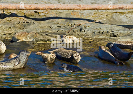 A seal pup comes ashore to join his herd of Harbor seals (Phoca vitulina), basking in the warm sunlight on a seculeded - Stock Photo