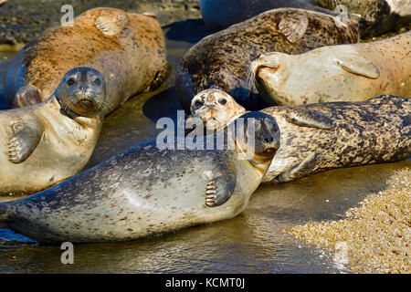 A herd of Harbor seals, (Phoca vitulina), basking in the warm sunlight on a seculeded island shorein the Strait - Stock Photo