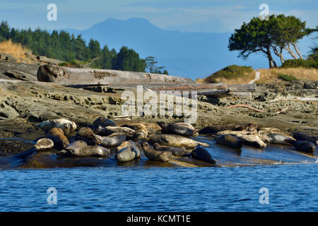 A herd of harbor seals (Phoca vitulina);  lays basking in the warm sunlight on a secluded island beach near Vancouver - Stock Photo