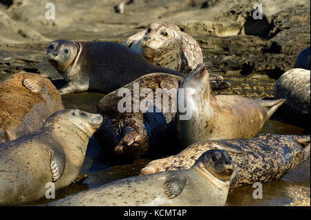 A close up image of a herd of harbor seals (Phoca vitulina);  lays basking in the warm sunlight on a secluded island - Stock Photo