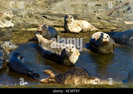 A herd of harbor seals (Phoca vitulina);  lay basking in the warm sunlight on a secluded island beach near Vancouver - Stock Photo