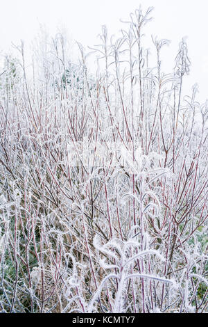 Winter scene of nature. Salix rosmarinifolia with red stems covered with hoarfrost. Blurred and white background. - Stock Photo
