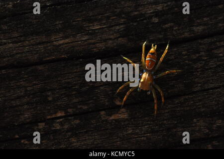 Green tree ant jumping spider (Cosmophasis bitaeniata) on a fence post, Townsville, QLD, Australia October 2017 - Stock Photo
