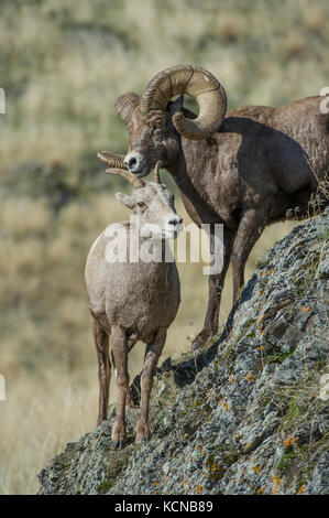 Male and Female Bighorn Sheep, Ovis canadensis, Central Montana, USA - Stock Photo
