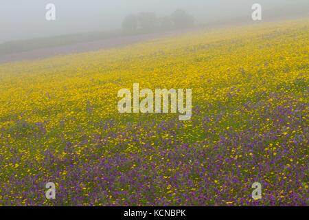 Corn Marigold ( Chrysanthemum segetum),and Red Campion   (Silene dioica) ) in mist, rare corn field wild plant ,typical - Stock Photo