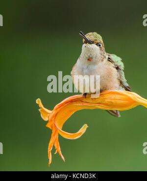 Immature Male Ruby-throated hummingbird, Archilochus colubris, Ontario, Canada - Stock Photo