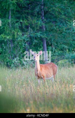 White-tailed Deer (Odocoileus virginianus), Manitoulin Island, Ontario, Canada - Stock Photo