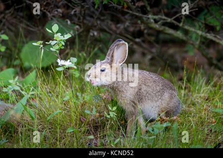 Young Snowshoe Hare (Lepus americanus) with tongue out, Misery Bay Provincial Park, Manitoulin Island, Ontario, - Stock Photo