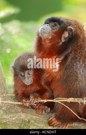 Coppery Titi, female with young / (Callicebus cupreus) | Roter Springaffe, Weibchen mit Jungtier / (Callicebus cupreus) - Stock Photo