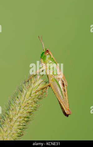 Meadow Grasshopper, female, North Rhine-Westphalia, Germany / (Chorthippus parallelus)   Gemeiner Grashuepfer, weiblich, - Stock Photo