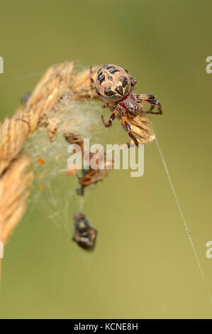 Furrow Orbweaver, North Rhine-Westphalia, Germany / (Larinioides cornutus, Araneus foliatus) - Stock Photo