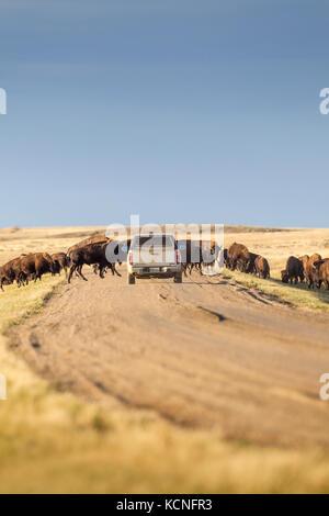 Vehicle trying to pass a herd of Plains Bison (Bison bison bison) in Grasslands National Park, Saskatchewan, Canada - Stock Photo