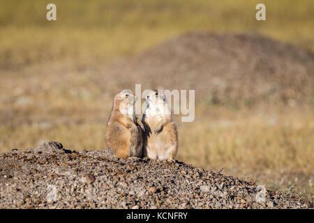 Two Black-tailed Prairie Dogs (Cynomys ludovicianus), Grasslands National Park, Saskatchewan, Canada; - Stock Photo