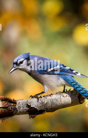 Blue Jay (Cyanocitta cristata), Algonquin Provincial Park, Ontario - Stock Photo