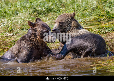 Grizzly bear cubs playing in Glendale Cove, Knight Inlet, British Columbia, Canada. Ursus arctos - Stock Photo