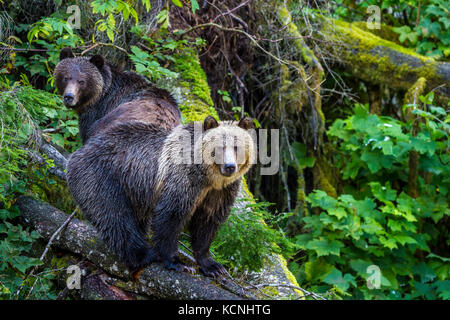 Grizzly Bear cubs standing on a fallen tree along Knight Inlet in British Columbia, Canada. - Stock Photo