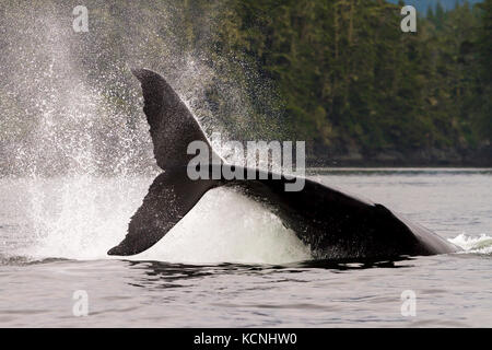 A large male humpback whale hitting his large tail fluke onto the water, aka tail slapping, in Knight Inlet, British - Stock Photo