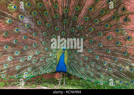 Indian peacock, Vale dos Vinhedos, Grande do Sul, Brazil - Stock Photo