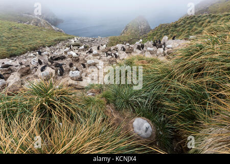 Black Browed Albatross, their babies and Rock Hopper Penguins all converge on a rookery on West Point Island, Falkland - Stock Photo
