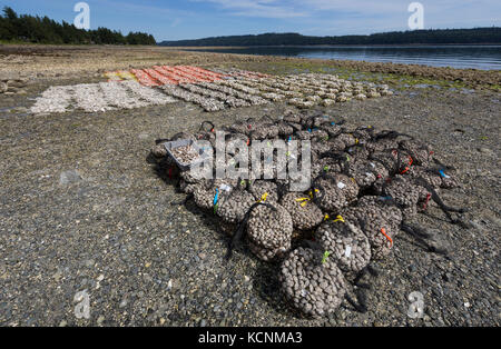 Oysters and Clams harvested on foreshore leases line the shores of Fanny Bay near the Comox Valley.  Vancouver Island. - Stock Photo