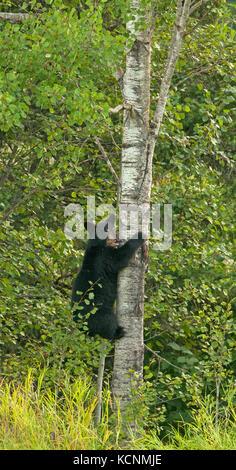 Wild American black bear (Ursus americanus) 2nd year old cub climbing aspen tree to escape danger, Quetico Provincial - Stock Photo