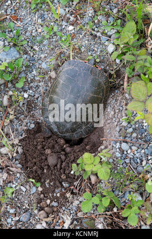 Western painted turtle (Chrysemys picta bellii), female, digging a nest cavity for laying eggs in Nicomen Slough, - Stock Photo