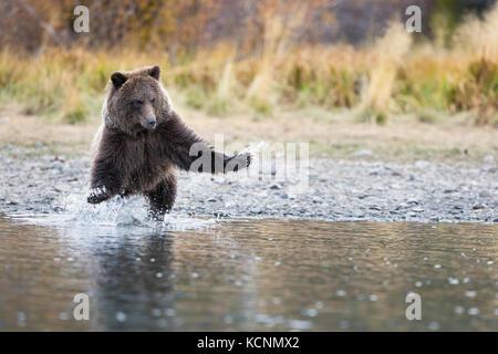 Grizzly bear (Ursus arctos horribilis), cub, charging,  Chilcotin Region, British Columbia, Canada. - Stock Photo