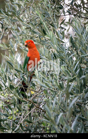 King Parrot  feeling in an olive tree, male Australian King-Parrots are the only Australian parrots with a completely - Stock Photo