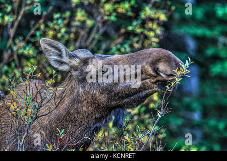 Moose (Alces alces) Female moose, In its natural habitat, feeding and looking for food. Scenic photo. Kananaskis - Stock Photo