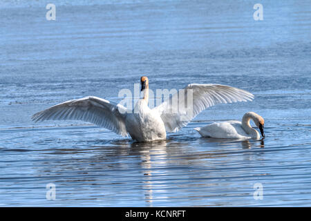 Trumpeter Swan (Cygnus buccinator) Beautiful white Trumpeter Swan,  in a blue lake,  finished preening and now flapping - Stock Photo