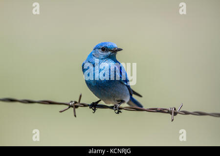Mountain Bluebird (Sialia currucoides) Beautiful and pretty,  the colorful male bluebird sitting on barbed wire - Stock Photo