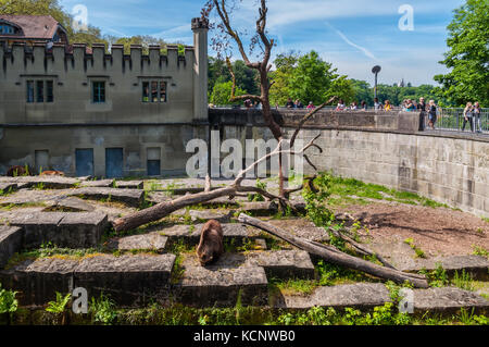 Bern, Switzerland - May 26, 2016: Bear in the bear pit in Bern in a beautiful spring day, Switzerland. The Pit houses - Stock Photo