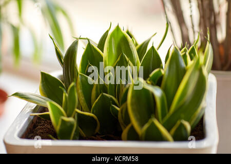 beautiful exotic sansevieria in flower pot indoors - Stock Photo