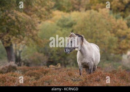 Tarpan horse - Stock Photo