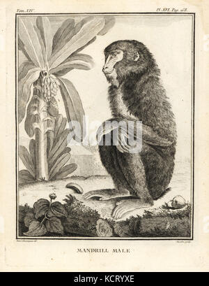 Mandrill, Mandrillus sphinx. Male. Copperplate engraving by Chevillet after an illustration by Jacques de Seve from - Stock Photo