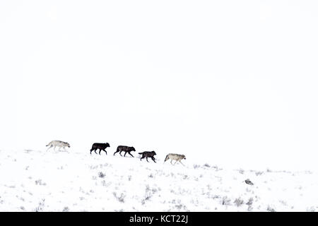 Gray Wolf (Canis lupus) pack running in snow on mountainridge, Lamar valley, Yellowstone national park, Wyoming - Stock Photo
