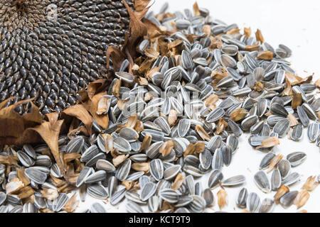 sunflower heads harvest seeds