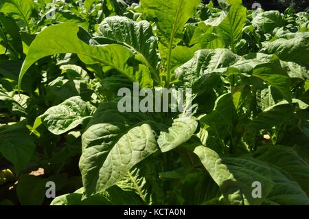 Cultivated tobacco (Nicotiana tabacum) plant on a field in Southwestern Ontario Canada - Stock Photo