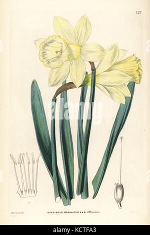 Wild daffodil, Narcissus pseudonarcissus subsp. moschatus (Greatest Spanish white narcissus, Narcissus moschatus - Stock Photo
