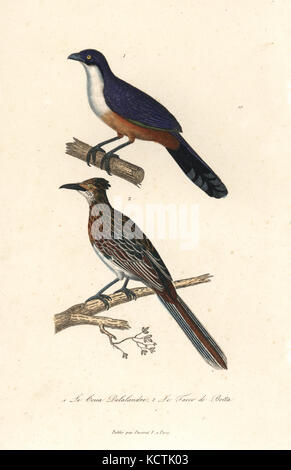 Delalande's coua, Coua delalandei (extinct), and greater roadrunner, Geococcyx californianus. Handcoloured copperplate - Stock Photo