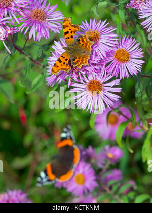 Comma Butterfly Polygonia c-album and Red Admiral on Michaelmas daises in early autumn - Stock Photo