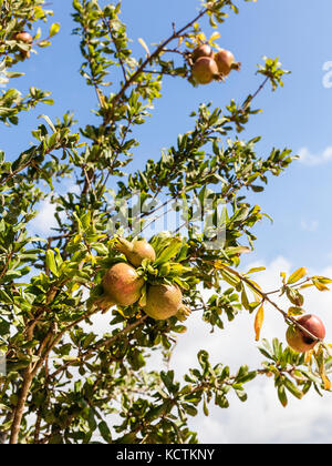 unripe pomegranate Fruit on Tree Branch in summer - Stock Photo