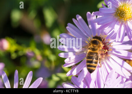 The honey bee sitting on a flower (Aster amellus) and feeding on nectar.  Close-up with selective focus. - Stock Photo