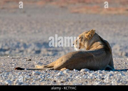 Lioness (Panthera leo) resting on desolate ground at waterhole, morning light, Etosha National Park, Namibia, Africa - Stock Photo