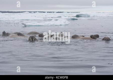 Group of Walrus (Odobenus rosmarus) swimming - Stock Photo