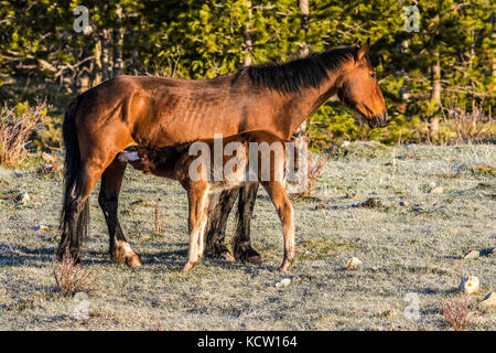 Wild Horse - Feral (Equus caballus) Beautiful, rugged wild mare and young colt, in the Alberta Foothills, its natural - Stock Photo
