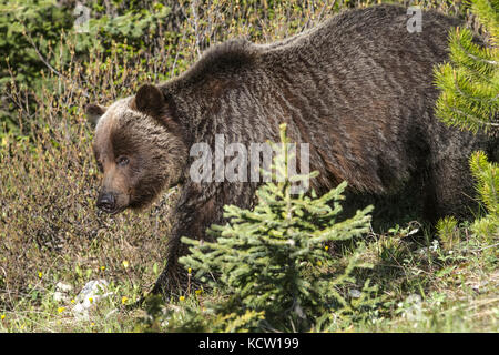 Grizzly Bear Female (Ursus arctos horribilis) Full body shot of female grizzy  walking thru the woods, showing distinct - Stock Photo