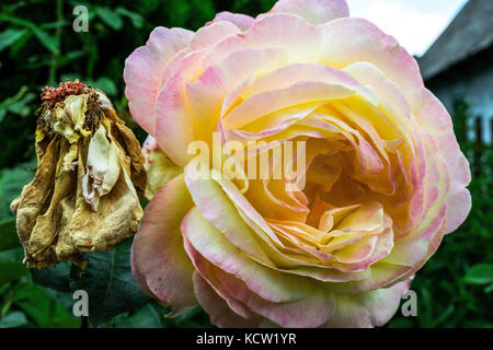 Close-Up Of Beautiful Yellow Pink Rose Next To Withered Rose - Stock Photo
